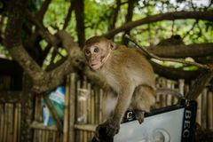 Wilder Affe vom Dschungel, Krabi, Thailand Lizenzfreie Stockbilder