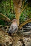 Wilder Affe vom Dschungel, Krabi, Thailand Stockfoto