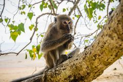 Wilder Affe vom Dschungel, Krabi, Thailand Stockbild