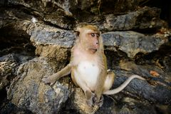 Wilder Affe vom Dschungel, Krabi, Thailand Stockfotos