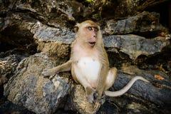 Wilder Affe vom Dschungel, Krabi, Thailand Lizenzfreie Stockfotos