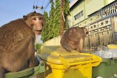 Wilder Affe, welche nach Nahrung in einem Abfall sucht Stockfoto