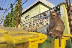 Wilder Affe, welche nach Nahrung in einem Mülleimer sucht Stockfotografie