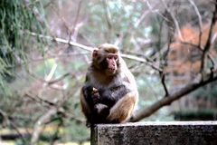 Wilder Affe in Zhangjiajie-Staatsangehörigem Forest Park Lizenzfreie Stockbilder