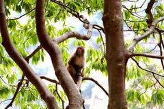 Wilder Affe in Zhangjiajie-Staatsangehörigem Forest Park Stockbilder
