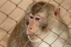 Wilder Affe zugeschlossen in einen Käfig stockfoto
