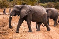 Wilder afrikanischer Elefant Stockbild