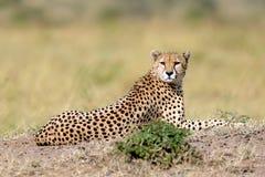 Wilder afrikanischer Gepard Lizenzfreies Stockbild