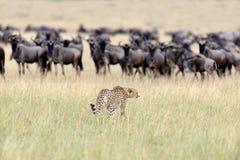 Wilder afrikanischer Gepard Stockbilder
