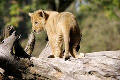 Wilder afrikanischer Löwe Stockfotos
