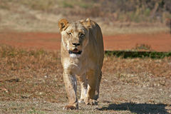 Wilder afrikanischer Löwe Stockfotografie