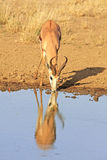 Wilder afrikanischer Springbock Stockfoto