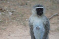 Wilder afrikanischer vervet Affe Lizenzfreie Stockbilder