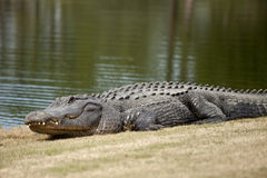 Wilder Alligator auf Golfplatz Stockfoto