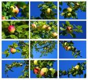 Wilder Apfel Lizenzfreies Stockfoto
