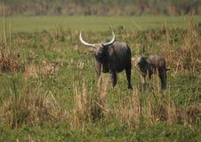 Wilder asiatischer Büffel Stockfoto