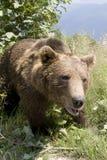 Wilder Bär im Wald Stockfoto