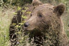 Wilder Bär im Wald Lizenzfreies Stockfoto