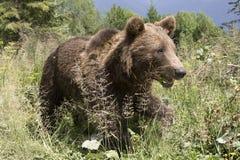 Wilder Bär im Wald Stockfotos