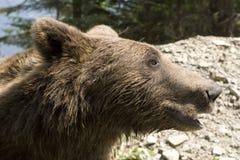 Wilder Bär im Wald Lizenzfreie Stockfotografie
