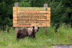 Wilder Bär vor einem hölzernen Zeichen Lizenzfreie Stockfotos
