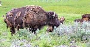Wilder Büffel, der Wintermantel an Yellowstone Nationalpark verschüttet Lizenzfreie Stockfotos