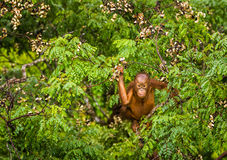 Wilder Baby-Orang-Utan, der rote Beeren in Forest Of Borneo Malaysia isst Lizenzfreie Stockfotos