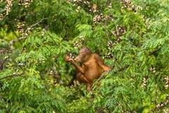 Wilder Baby-Orang-Utan, der rote Beeren in Forest Of Borneo Malaysia isst Stockfotografie