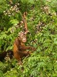 Wilder Baby-Orang-Utan, der rote Beeren in Forest Of Borneo Malaysia isst Stockbilder