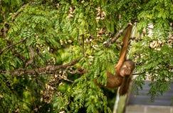 Wilder Baby-Orang-Utan, der rote Beeren in Forest Of Borneo Malaysia isst Lizenzfreies Stockfoto