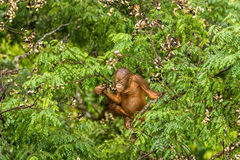 Wilder Baby-Orang-Utan, der rote Beeren in Forest Of Borneo Malaysia isst Stockfoto