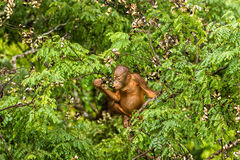 Wilder Baby-Orang-Utan, der rote Beeren in Forest Of Borneo Malaysia isst Stockbild