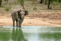 Wilder badender Elefant Lizenzfreie Stockfotografie