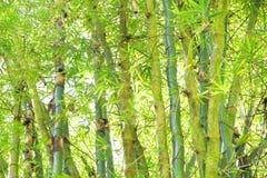 Wilder Bambus im Regenwald - Beschaffenheit im Grün für ein backgrou Lizenzfreie Stockbilder