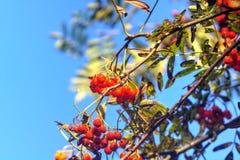 Wilder Baum der Eberesche Lizenzfreies Stockbild