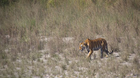 Wilder Bengal-Tiger in Bardia, Nepal lizenzfreies stockfoto