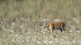Wilder Bengal-Tiger in Bardia, Nepal lizenzfreie stockbilder