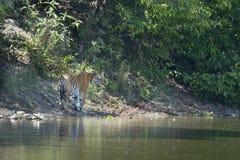 Wilder Bengal-Tiger, der entlang den Fluss an Nationalpark Bardia, Nepal geht stockfotografie