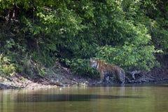 Wilder Bengal-Tiger, der entlang den Fluss an Nationalpark Bardia, Nepal geht stockfotos