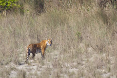 Wilder Bengal-Tiger in Nationalpark Bardia, Nepal lizenzfreies stockfoto