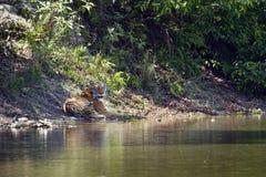 Wilder Bengal-Tiger in Nationalpark Bardia, Nepal stockbilder