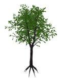 Wilder Birnenbaum des Flusses, dombeya kirkii - 3D übertragen Stockbild