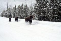 Wilder Bison Buffalo in Yellowstone-Park Stockbild