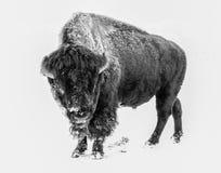 Wilder Bison in einem Blizzard Lizenzfreie Stockbilder