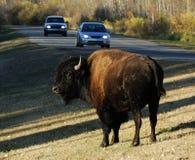 Wilder Bison im Nationalpark der Elchinsel Lizenzfreie Stockfotografie
