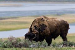 Wilder Bisonbüffel, der weiden lässt - Yellowstone Nationalpark - mountai Stockfotos