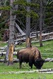 Wilder Bisonbüffel, der weiden lässt - Yellowstone Nationalpark - mountai Stockbilder