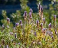 Wilder blühender Lavendel. Stockbilder