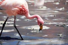 Wilder bolivianischer Flamingo stockfoto