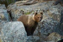 Wilder Braunbär, Ursus arctos, 2 Jahre alte Junge, versteckt unter Felsen, wartet auf Mutterbären Lizenzfreie Stockfotos